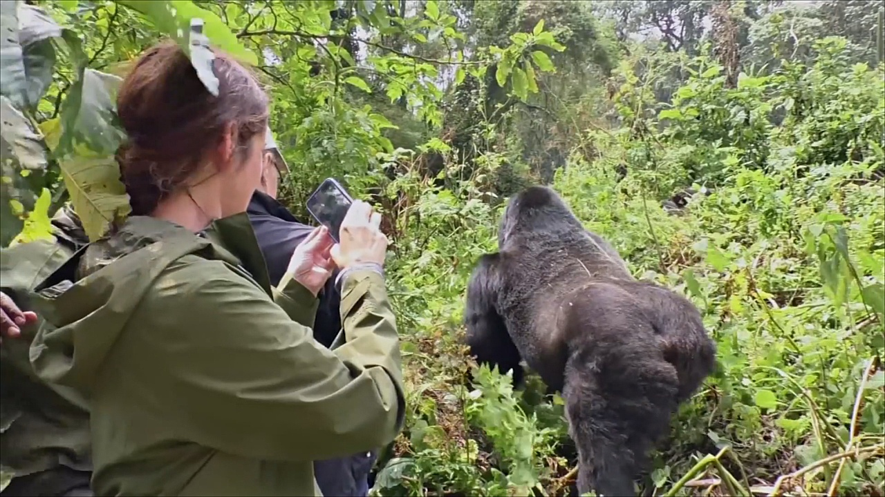 В Руанде снизили цену на экскурсии к горным гориллам из-за оттока туристов