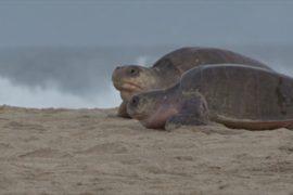 Тысячи редких оливковых черепах откладывают яйца на пляже в Мексике