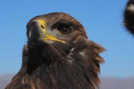 Лучшие беркутчи выступили на фестивале «Золотой орёл» в Монголии