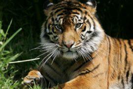 Евросоюз призывают запретить торговлю тиграми, выращенными в неволе