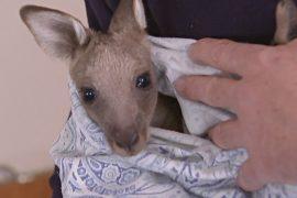 В Австралии волонтёры выхаживают осиротевших кенгурят