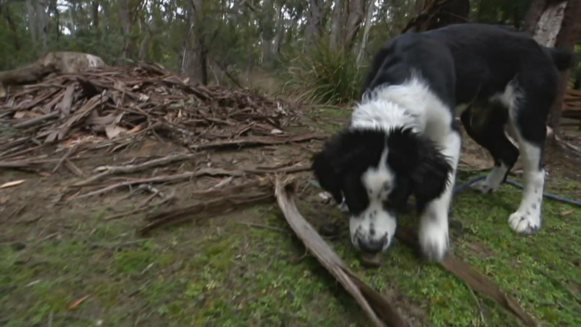 Собака-ищейка поможет спасти от исчезновения австралийских сипух