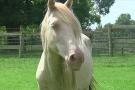 В долине Миссисипи успешно разводят редких лошадей чокто