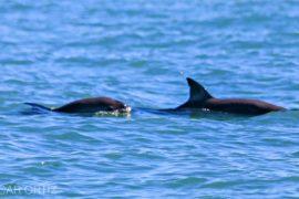 Детёнышей вымирающих вакит заметили в Калифорнийском заливе