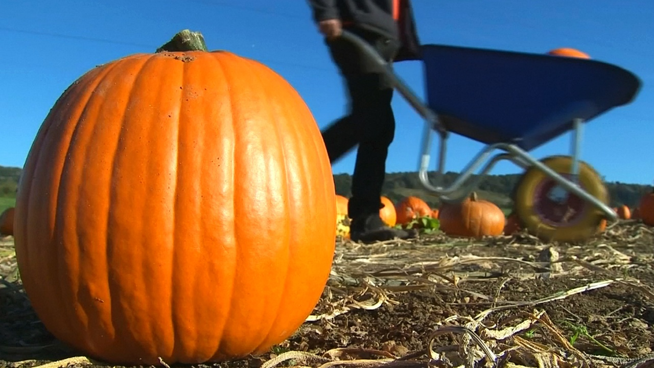 Британцы выбирают тыкву к Хэллоуину прямо на поле
