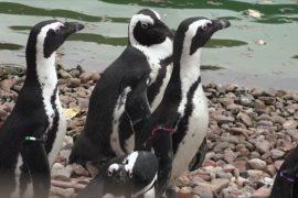 Польский зоопарк поделился «лишними» пингвинами с Чехией