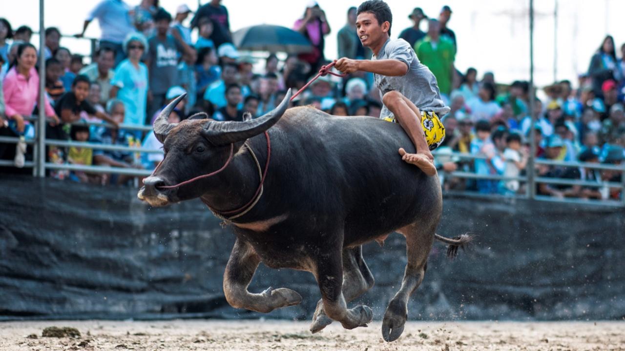 Тайцы трепетно хранят традицию гонок на буйволах