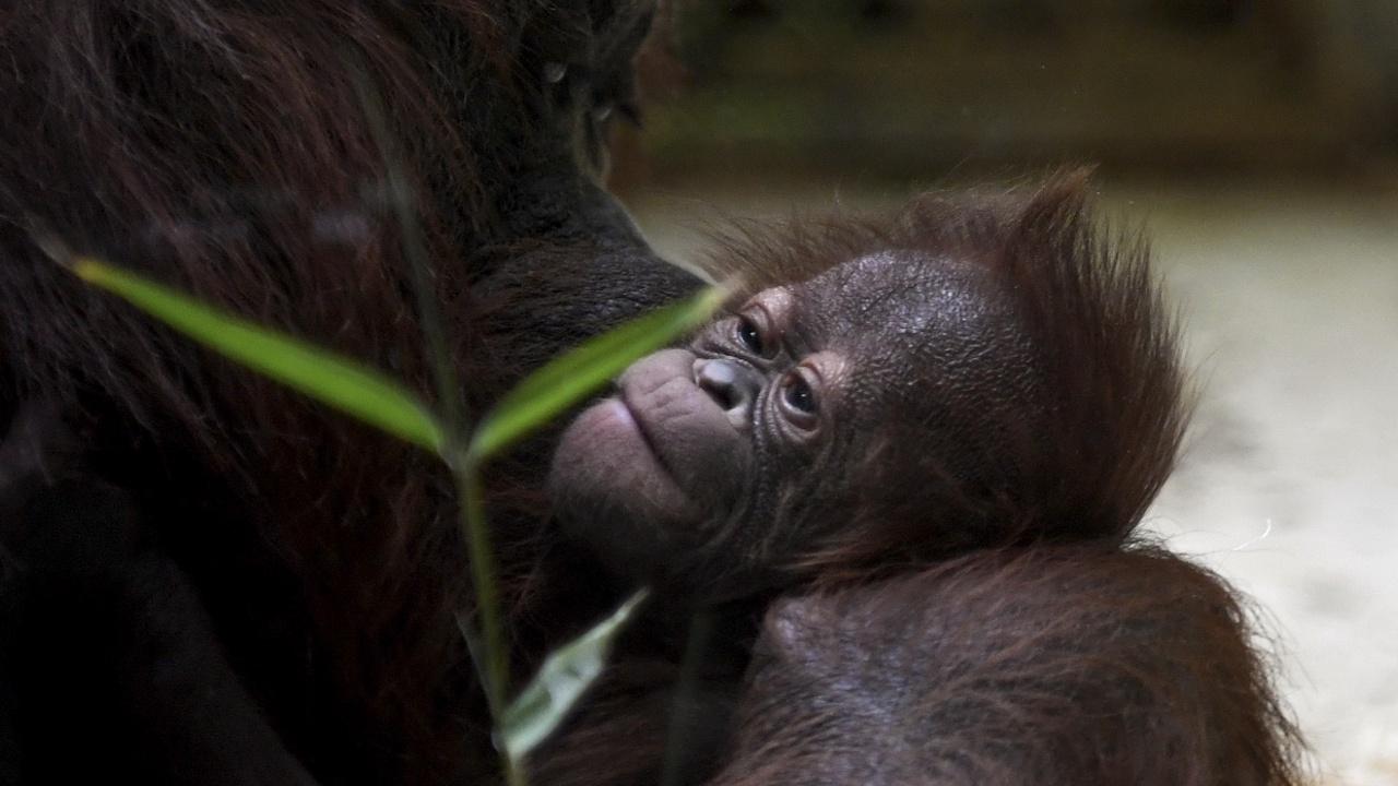 В парижском зоопарке родился детёныш редкого калимантанского орангутана
