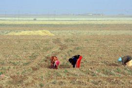 В Сирии собрали самый скудный урожай пшеницы за 30 лет