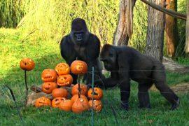 Гориллы и жирафы отпраздновали Хэллоуин в Лондонском зоопарке