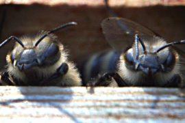 Пчёлы-мигранты перезимуют в полицейском участке Нью-Йорка