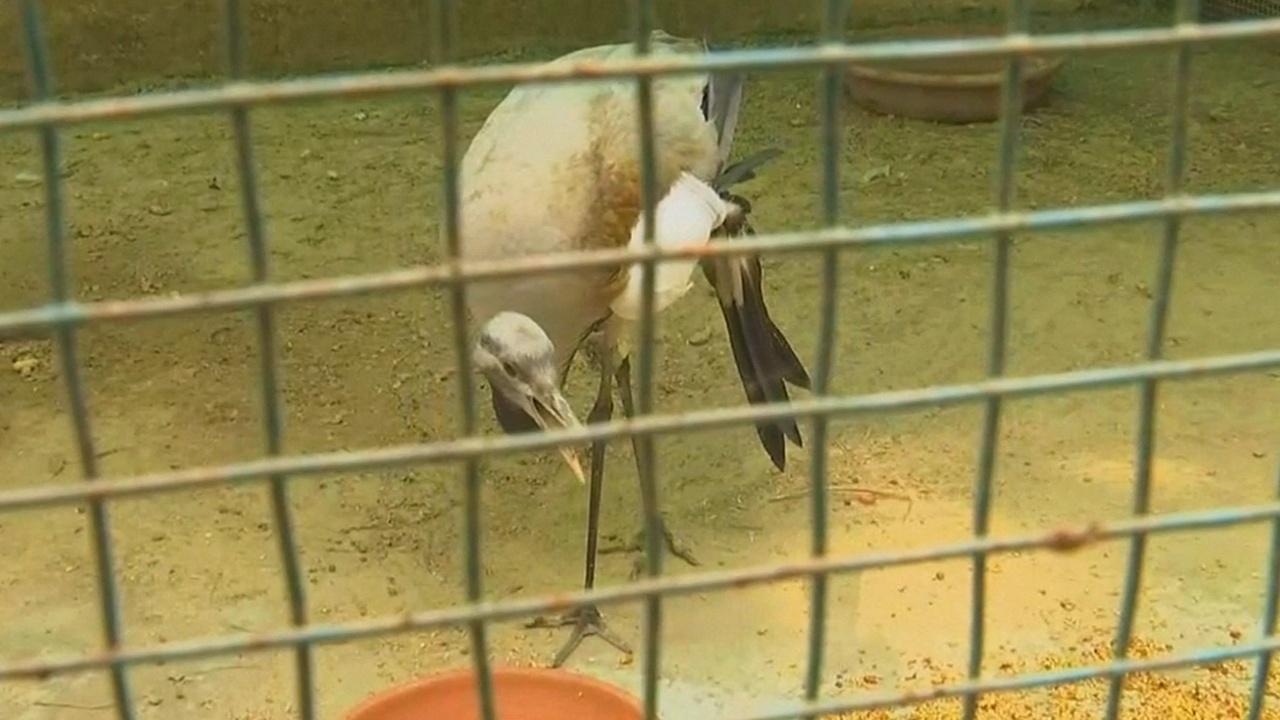 Индийский зоопарк просит помочь раненому журавлю, прилетевшему из России