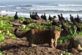 На диком пляже Коста-Рики заметили ягуара