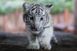 Зоопарк Лимы впервые показал трёх бенгальских белых тигрят