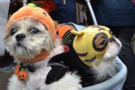 Тыквочки и пчёлки: американцы наряжают собак на Хеллоуин