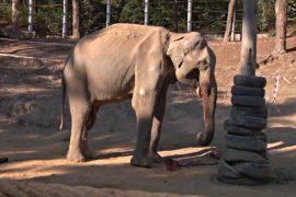 В зоопарке слону сделали 5-часовую операцию по удалению больного бивня