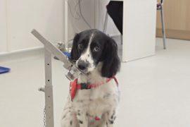 Собаки смогут определять малярию по запаху