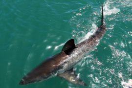 Турист скончался в результате нападения акулы в Австралии