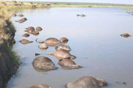 В Африке утонули 400 буйволов, спасаясь от львов