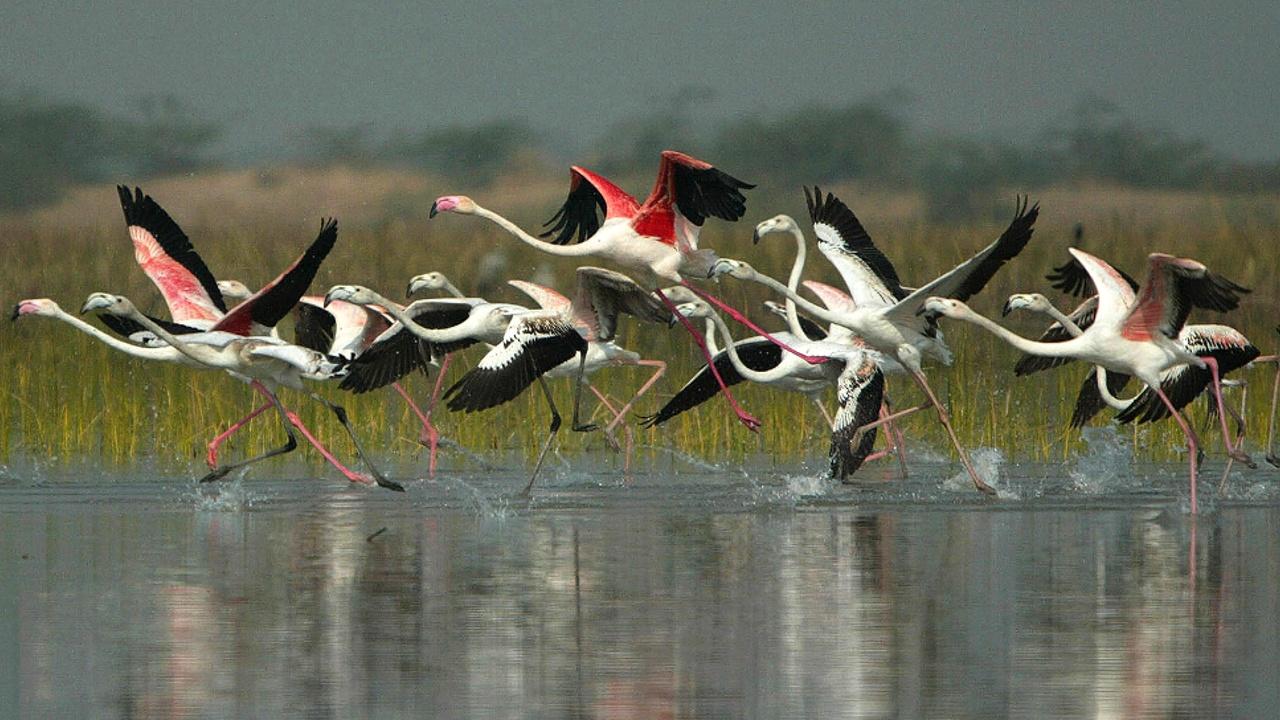 Большую стаю фламинго заметили на юге Индии