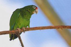 Пуэрто-риканских амазонов спасают от вымирания
