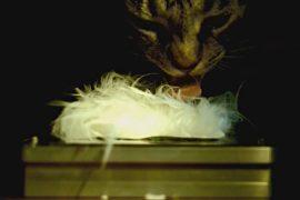 В США изучают строение кошачьего языка ради новых разработок