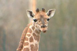 Жирафёнок покоряет сердца гостей берлинского зоопарка