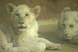 В зоопарке Магдебурга дали клички четырём белым львятам