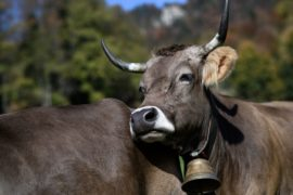 Швейцарцы против субсидии за сохранение рогов у скота