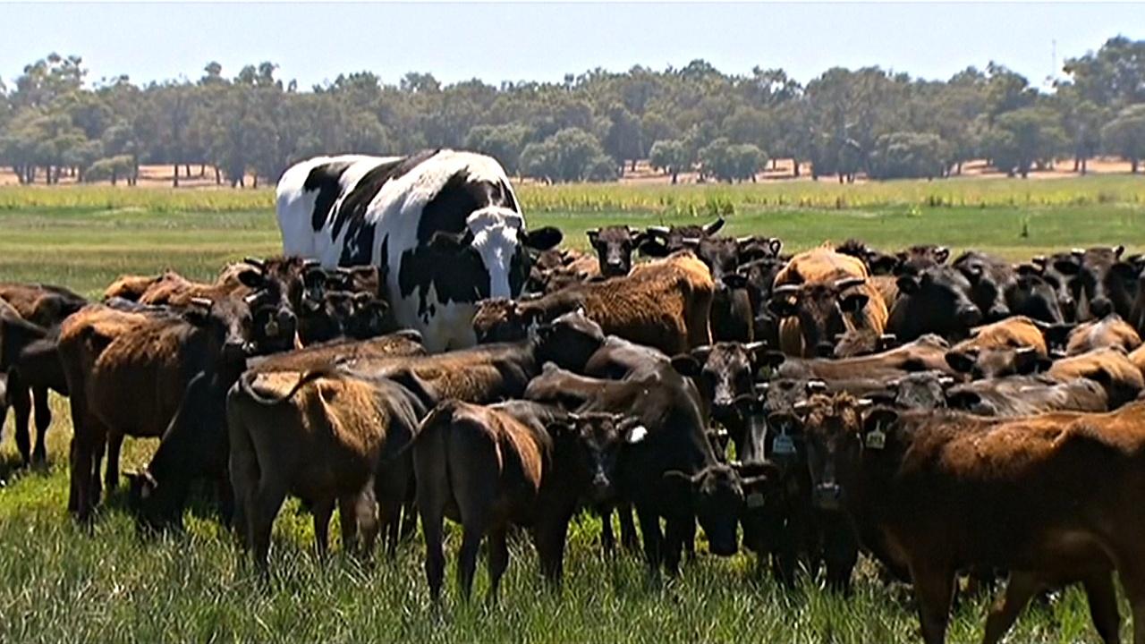 Гигантские размеры спасли быка от скотобойни