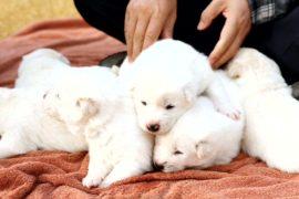 Пхунсаны, подаренные Мун Чжэ Ину лидером КНДР, принесли щенков