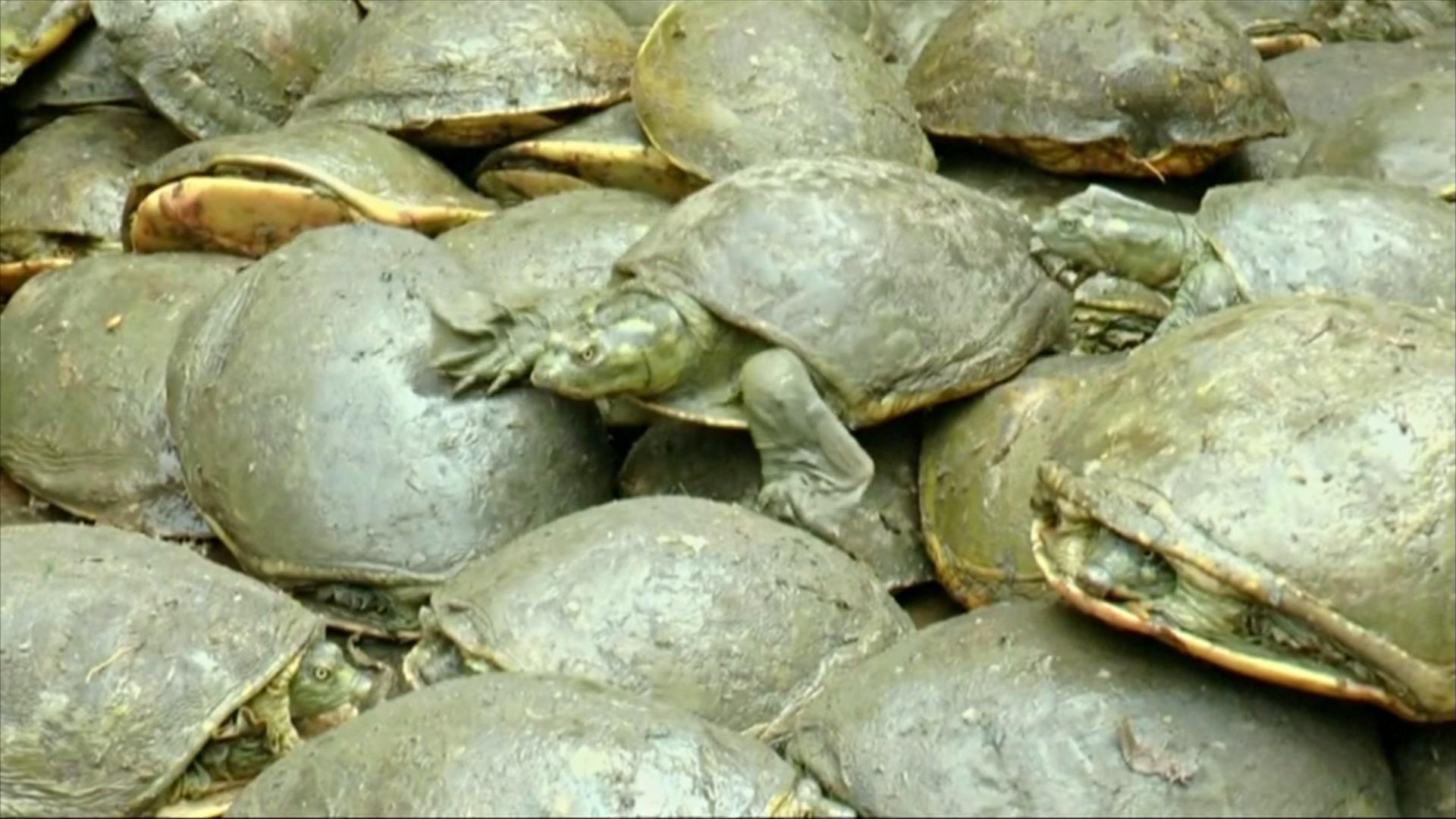 Контробандисты спрятали в пруду более 650 черепах