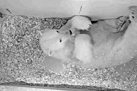 В Берлине белая медведица Тоня принесла потомство
