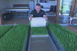 Изобретение фермера поможет выращивать корм во время засух