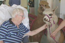 Пушистые альпака навещают пациентов в австралийской больнице