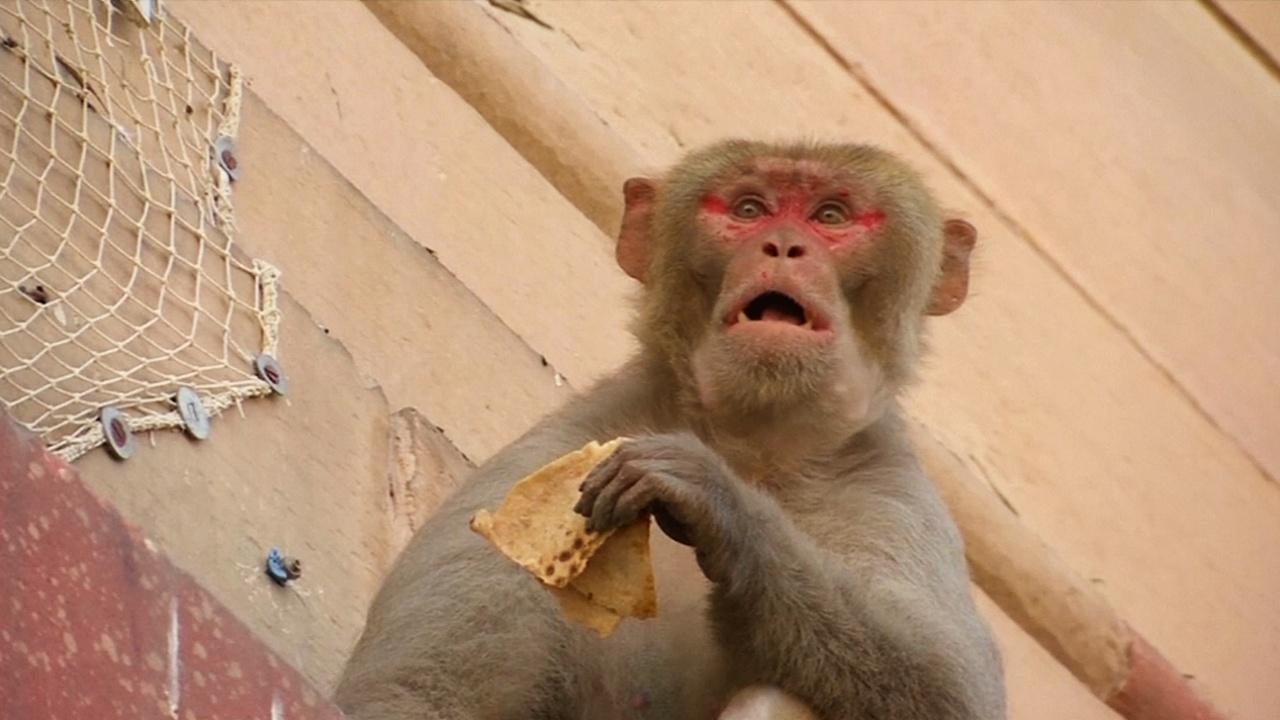 Банды макак не дают проходу чиновникам в Нью-Дели