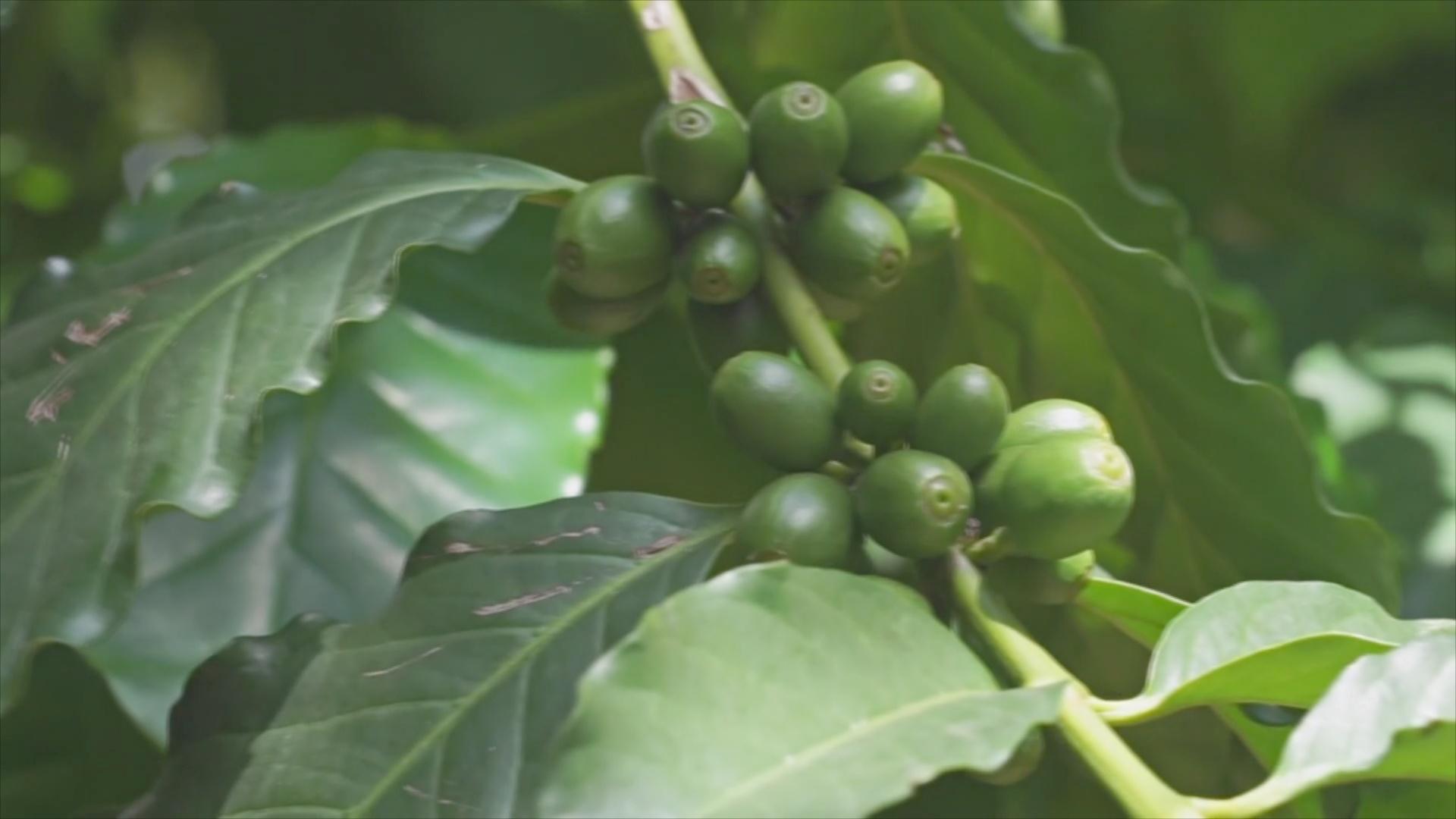 Старейшим кофейным плантациям Китая хотят вернуть былую славу
