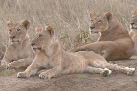 На диких животных парка в Найроби наступает строительство
