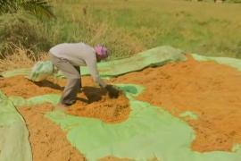 Циклон «Петай» уничтожил более 2000 га рисовых полей в Индии