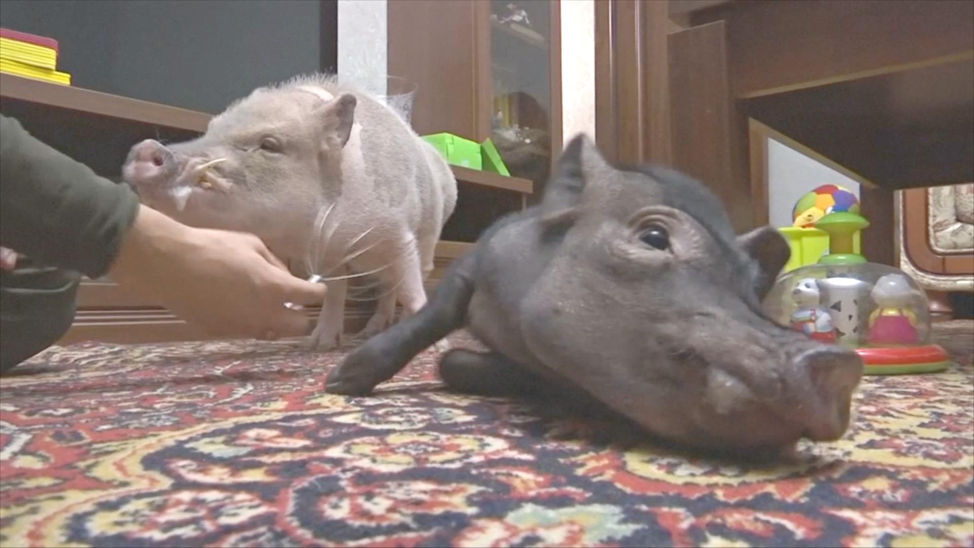 Свинья в доме: в России всё популярнее мини-пиги