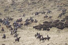 В штате Юта провели медосмотр для стада бизонов