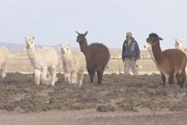 В Андах почти не осталось пастухов – молодёжь уезжает в города
