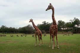 В заповеднике Коста-Рики спасают жирафов от вымирания