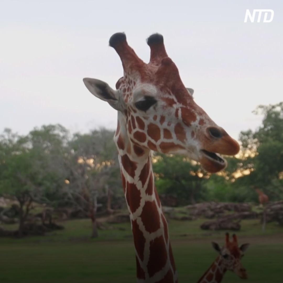 Как на Коста-Рике создают генетический банк жирафов