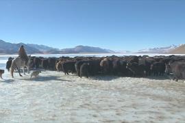 Разведение яков помогает кыргызстанцам выживать