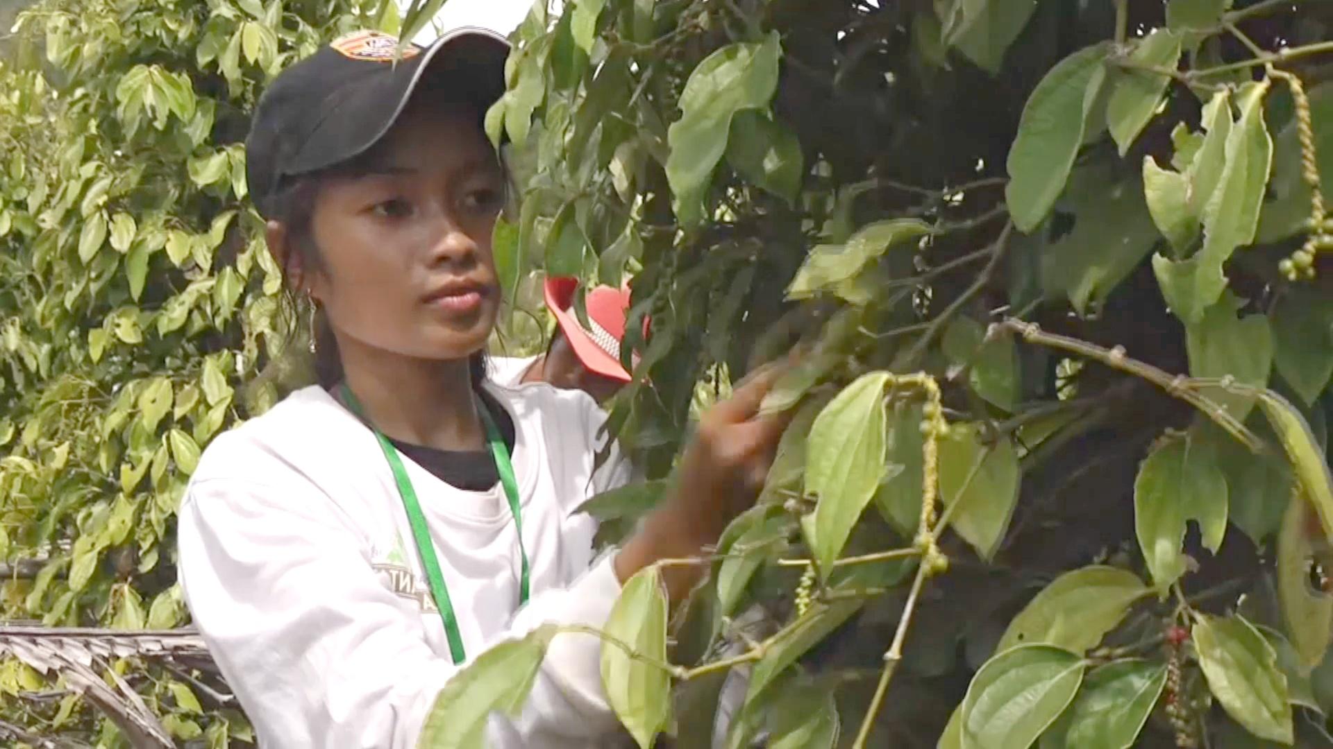 Камбоджа ищет новые рынки для своего уникального кампотского перца