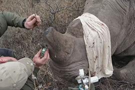 В Зимбабве спасать носорогов помогут миниатюрные GPS-трекеры