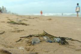 В Австралии из-за опасных медуз пострадали 3500 человек