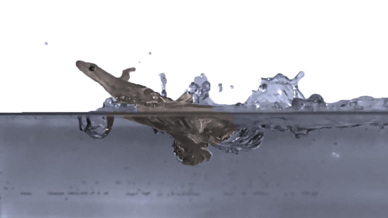 Новое открытие: гекконы умеют бегать по воде