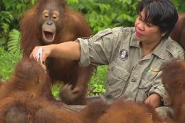 За сиротами-орангутанами ухаживают в крупнейшем реабилитационном центре